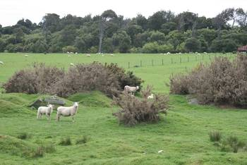 Schafe gibt es überall. Auch hier entlang des Waihopai River in Invercargill.